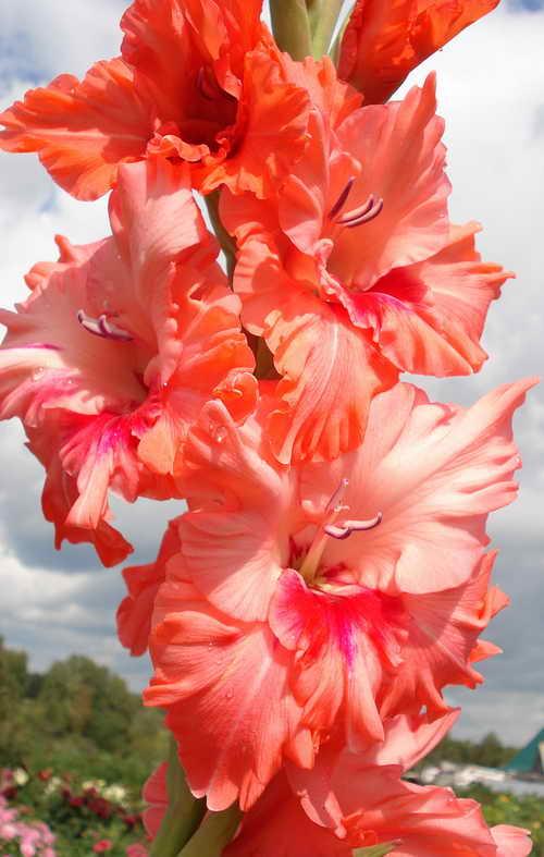 http://www.gladiolusov.ru/foto_500/gladiolus_malika.jpg